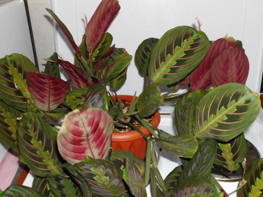 Скачать фото цветков маранты, выращенных в домашних условиях