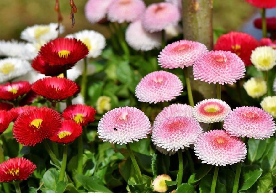 Скачать фото садовой маргаритки онлайн