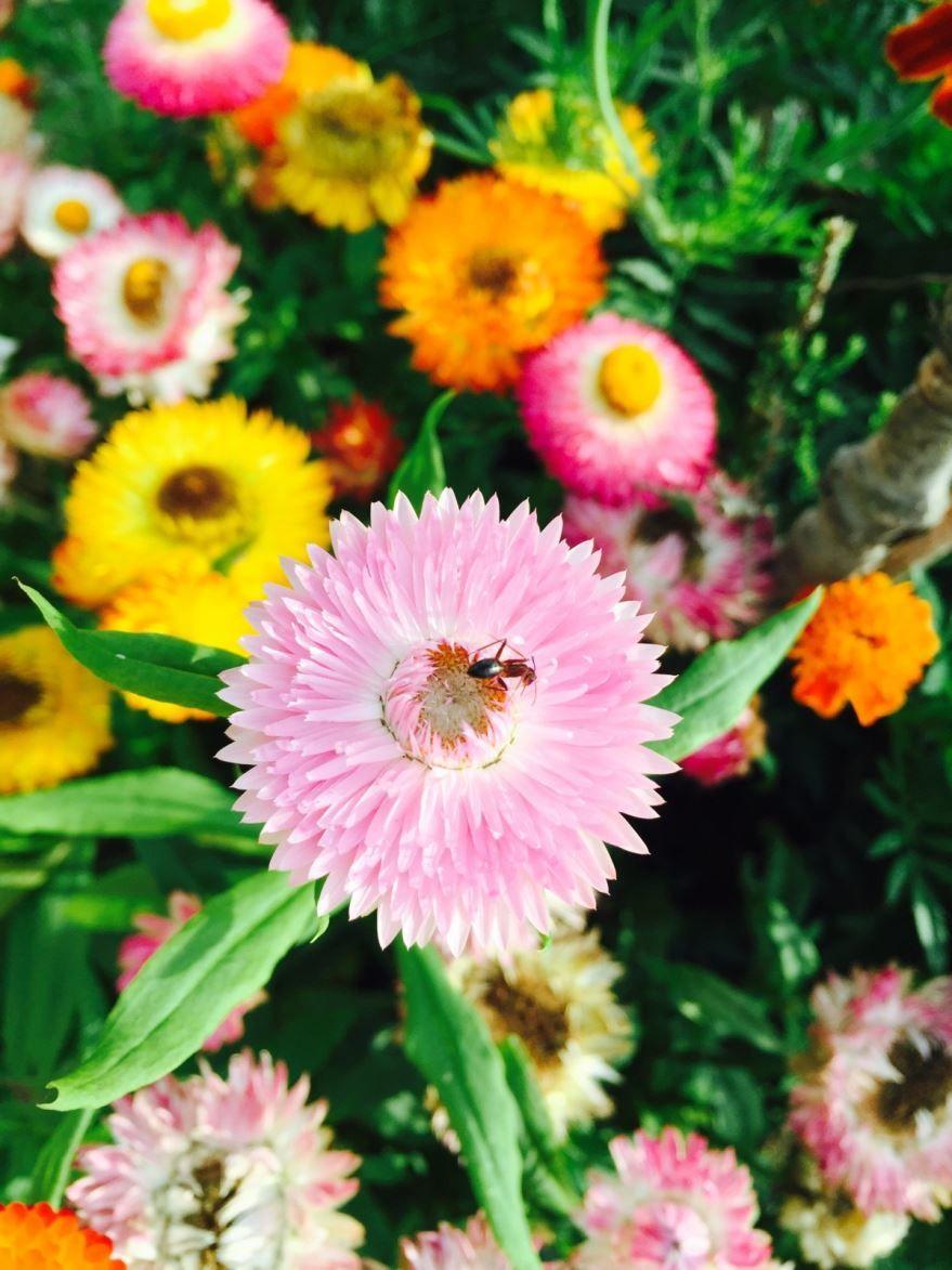 Смотреть фото цветов маргаритки манга бесплатно