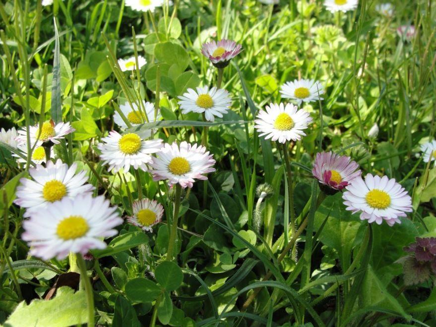 Фото многолетних цветов маргаритки на красногвардейской