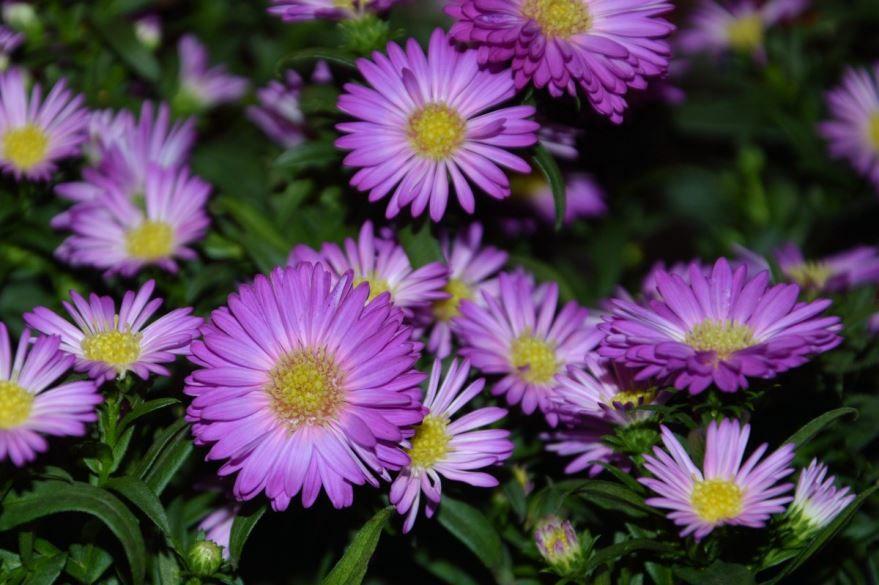 Фото цветов маргаритки, выращенной в открытом грунте бесплатно