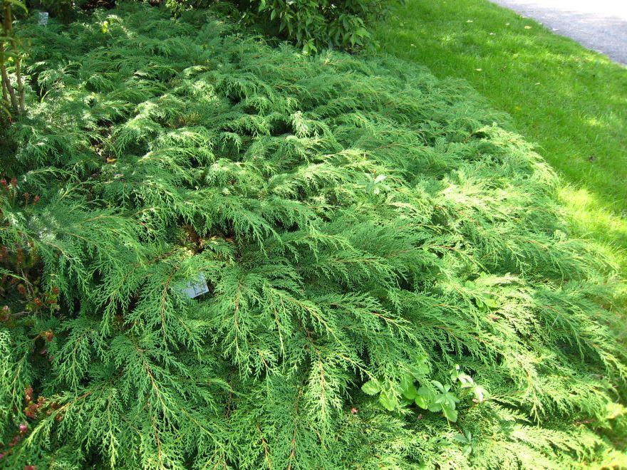 Смотреть фото растения – микробиоты из г. Чебоксары