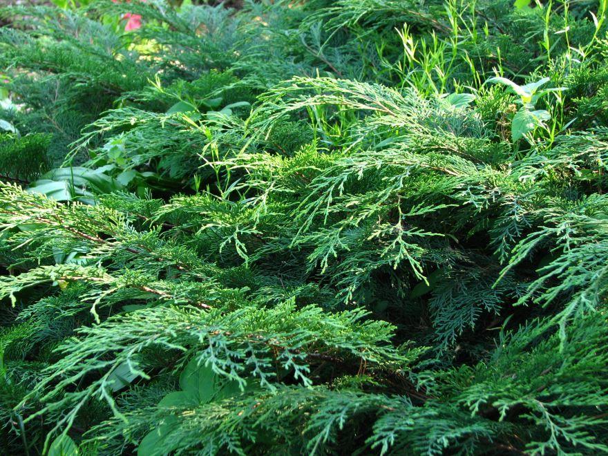 Купить фото растения микробиота перекрестнопарной? Скачайте бесплатно