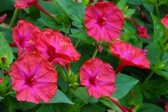 Купить фото цветов мирабилис? Скачайте бесплатно