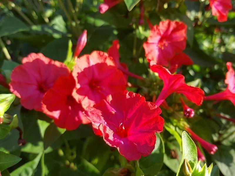 Скачать фото цветков мирабилис протеус онлайн