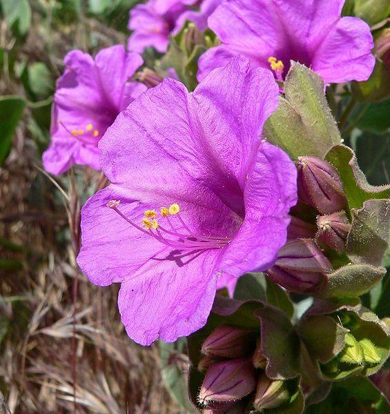 Смотреть фото растения мирабилис в открытом грунте