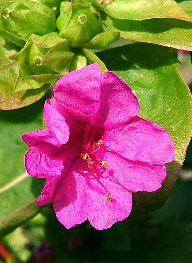 Растение ночная красавица купить, цветы
