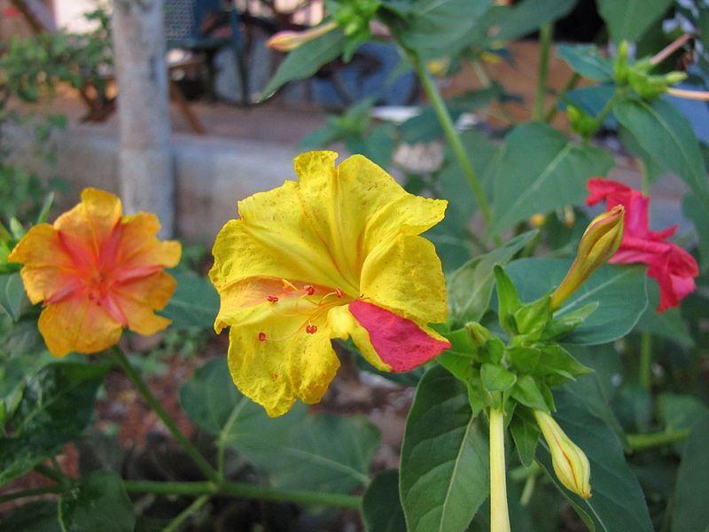 Фото цветов растения мирабилис протеус