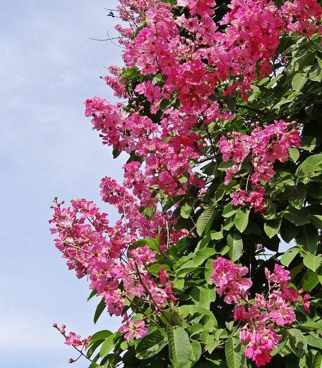 Скачать фото обыкновенных цветов растения мирт
