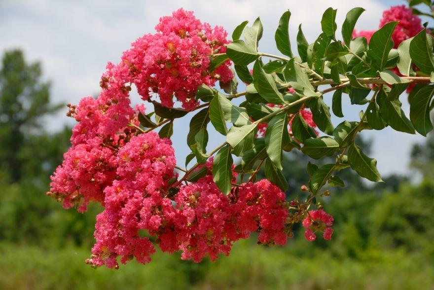 Фото комнатных цветов мирт их г. Кострома
