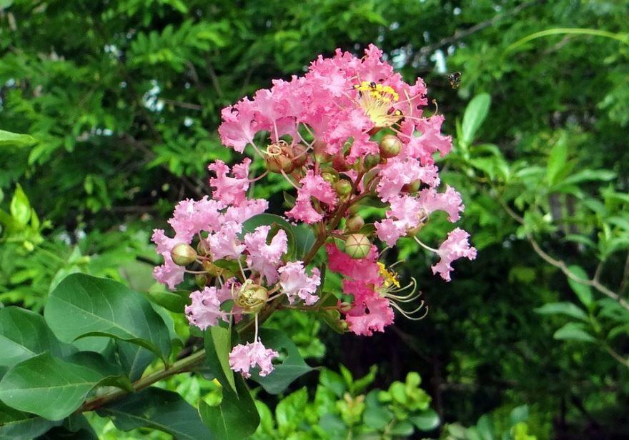 Смотреть фото растения мирт обыкновенный в домашних условиях