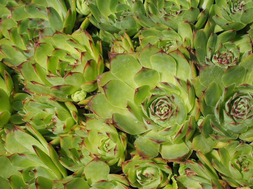 Смотреть фото растения молодило обыкновенного в домашних условиях