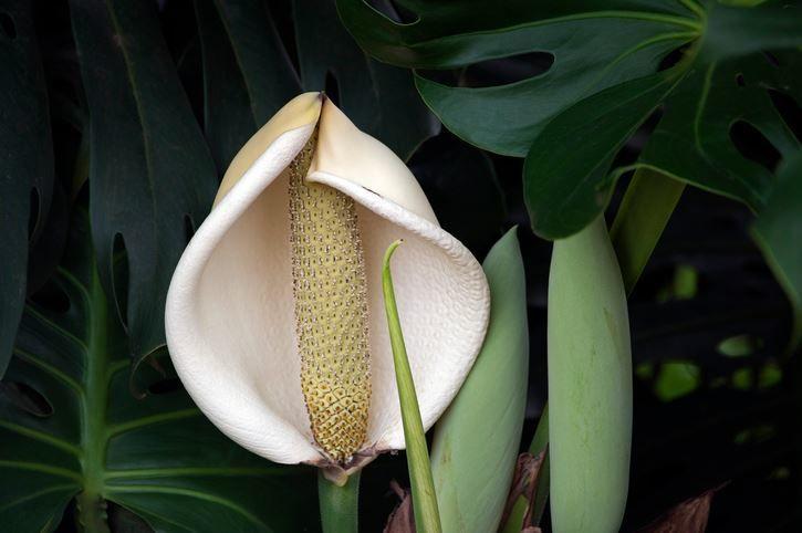 Бесплатные картинки цветов растения монстера