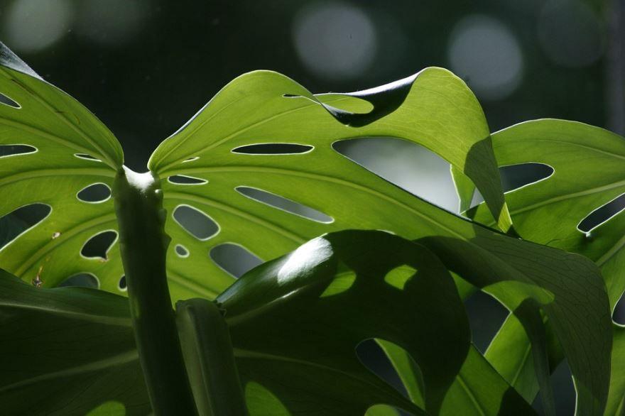 Скачать фото цветов монстеры с листьями
