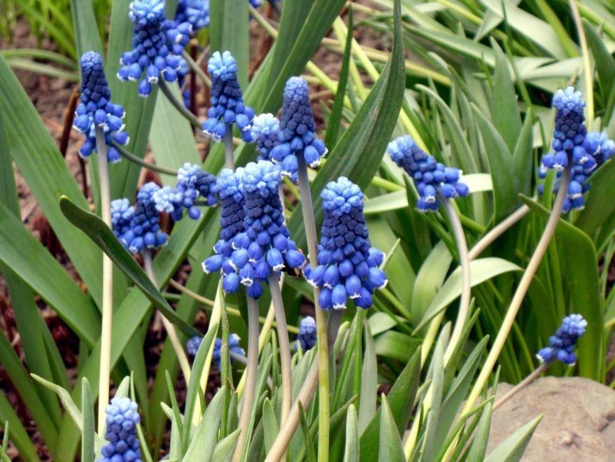 Бесплатные фото цветов крокусов мускари