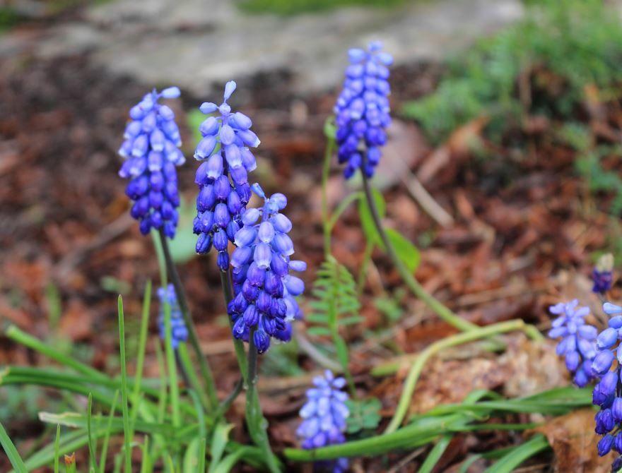 Фото цветов мускари, выращенных в открытом грунте