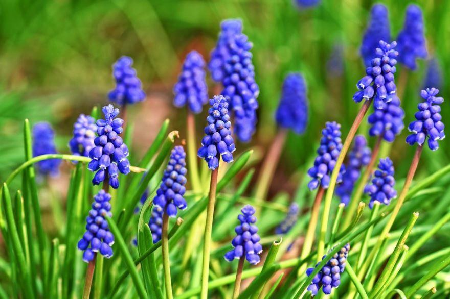 Купить фото растения армянский мускари? Скачайте бесплатно