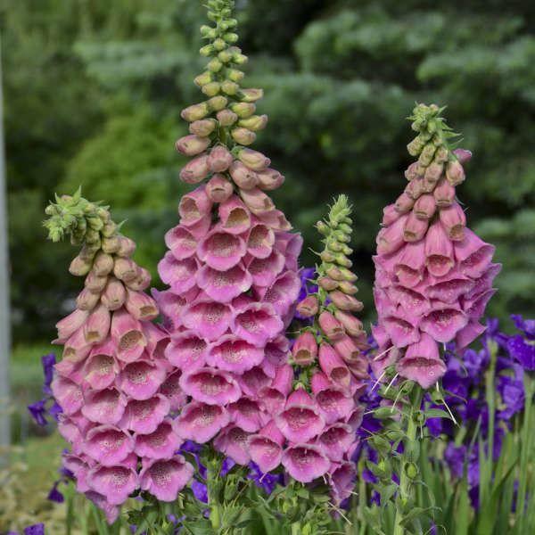 Фото цветов наперстянки, из которых готовят настойки и препараты