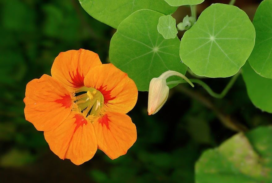 Фото растения настурция, выращенного в открытом грунте