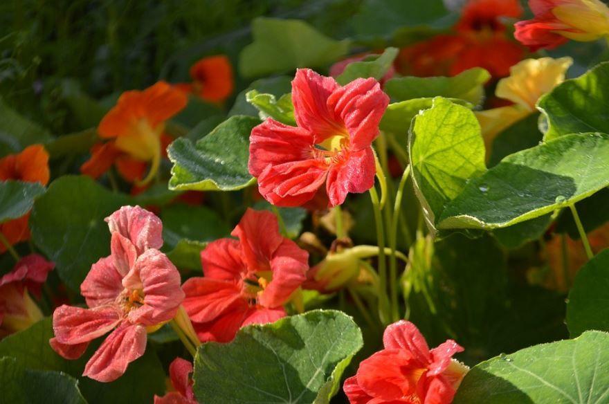 Смотреть фото многолетних цветов настурции с листьями