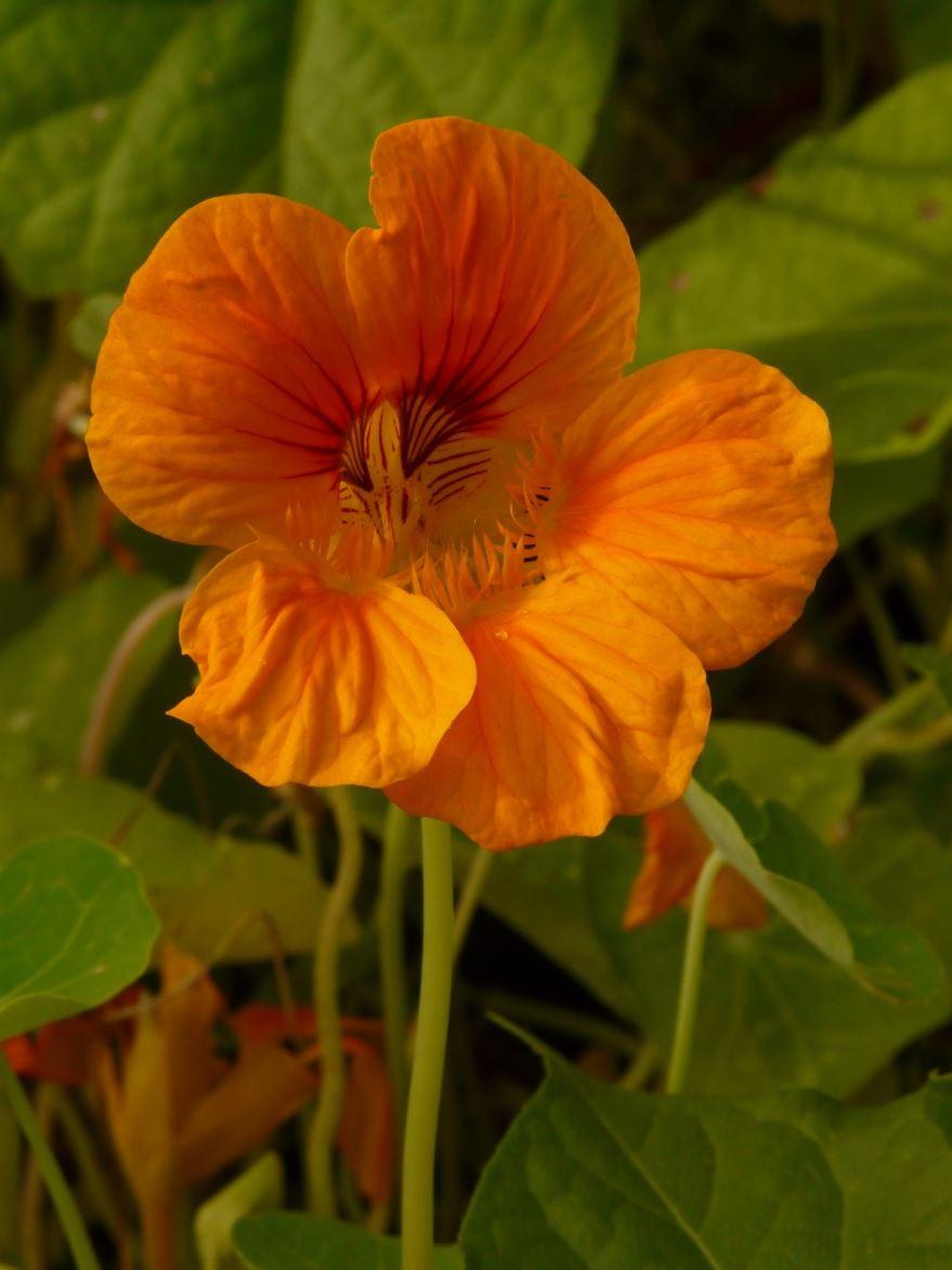 Скачать фото растения настурции, выращенной на клумбе