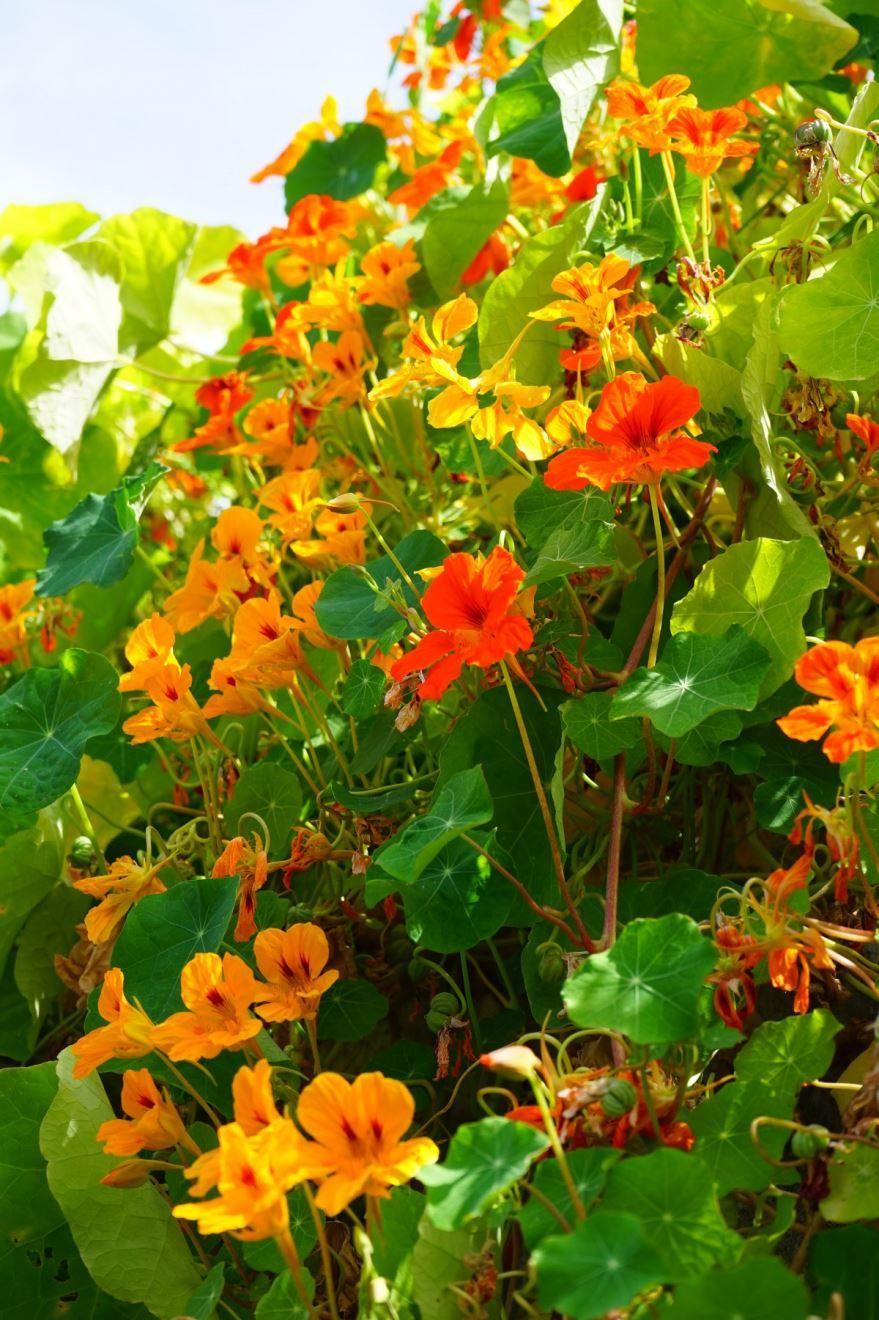Фото вьющегося растения настурции бесплатно