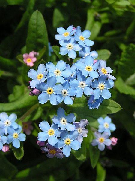Фото цветков незабудки из известной песни
