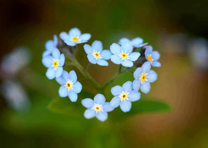 Смотреть лучшие фото красивых цветков растения незабудки онлайн