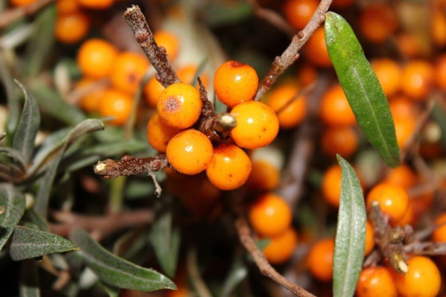 Скачать фото облепихи с листьями для вкусных рецептов на зиму