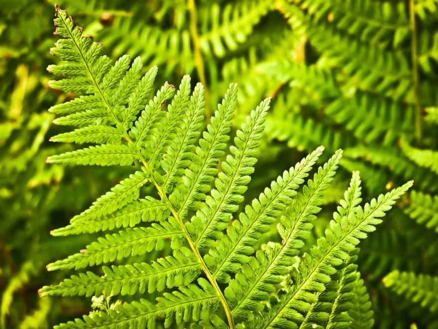 Фото спористого растения – папоротника онлайн