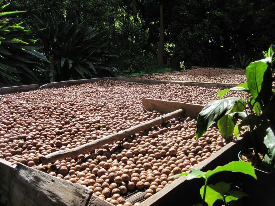 Смотреть фото орехов макадамии, обладающей пользой и вредом