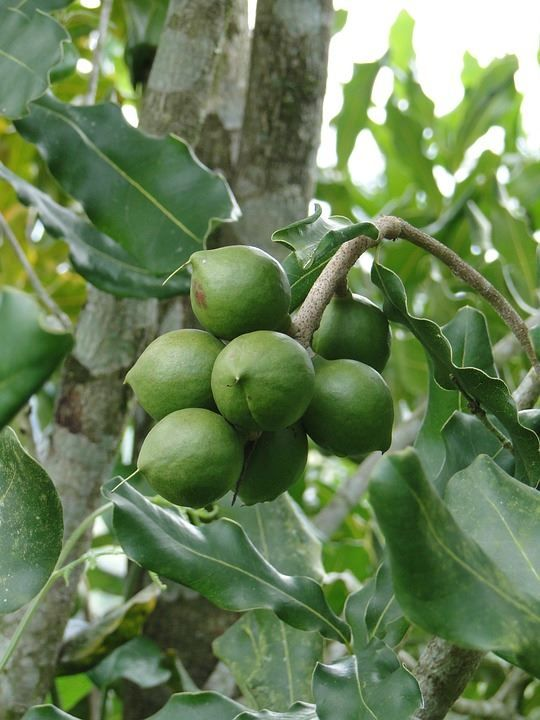 Скачать фото и картинки орехов макадамии с полезными свойствами