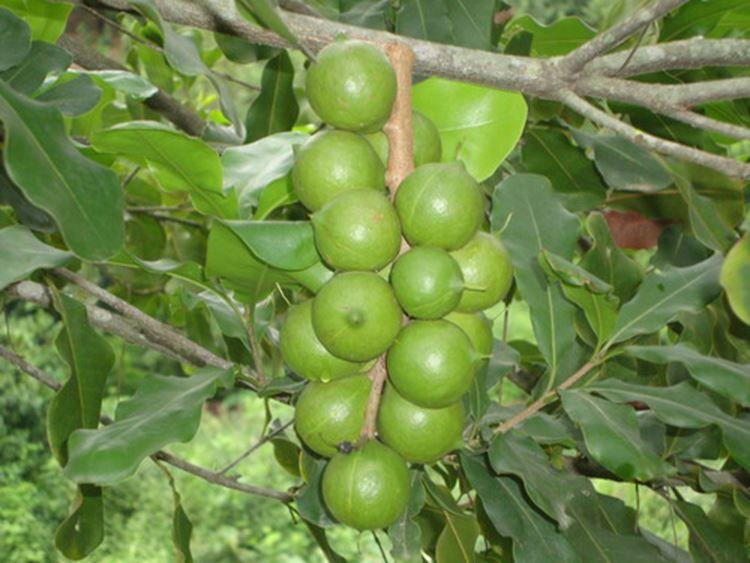 Фото полезных для здоровья орехов макадамии онлайн