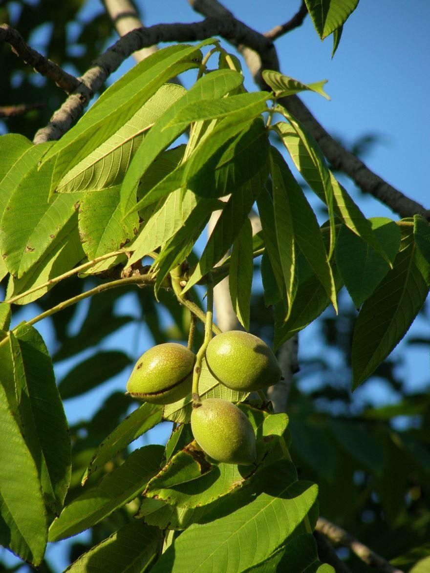 Смотреть фото маньчжурского ореха, обладающего лечебными свойствами