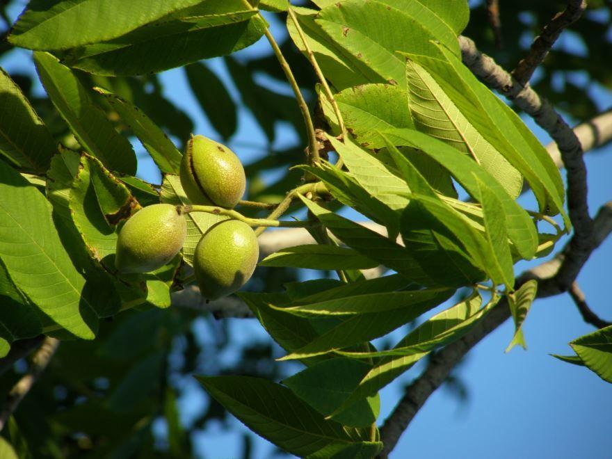 Фото и картинки плодов маньчжурского дерева онлайн