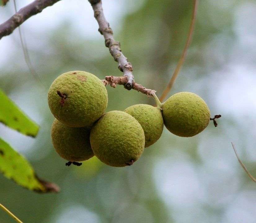 Купить фото маньчжурского ореха? Скачайте бесплатно