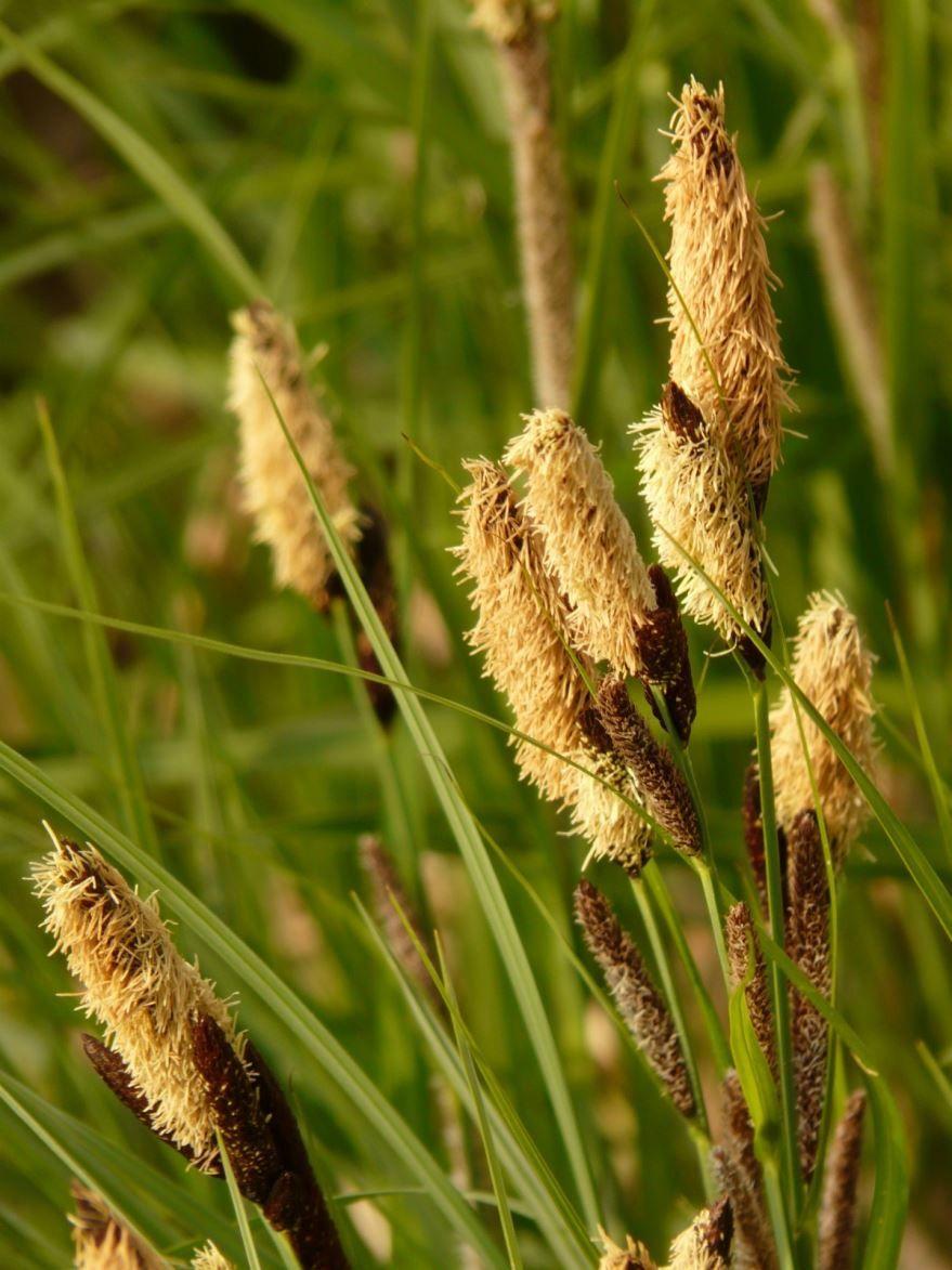 Скачать фото травы осоки с листьями бесплатно