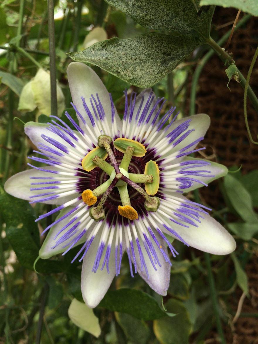 Скачать фото растения пассифлоры бесплатно