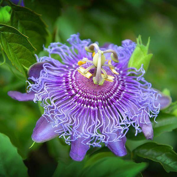 Купить фото растения пассифлора? Скачайте бесплатно