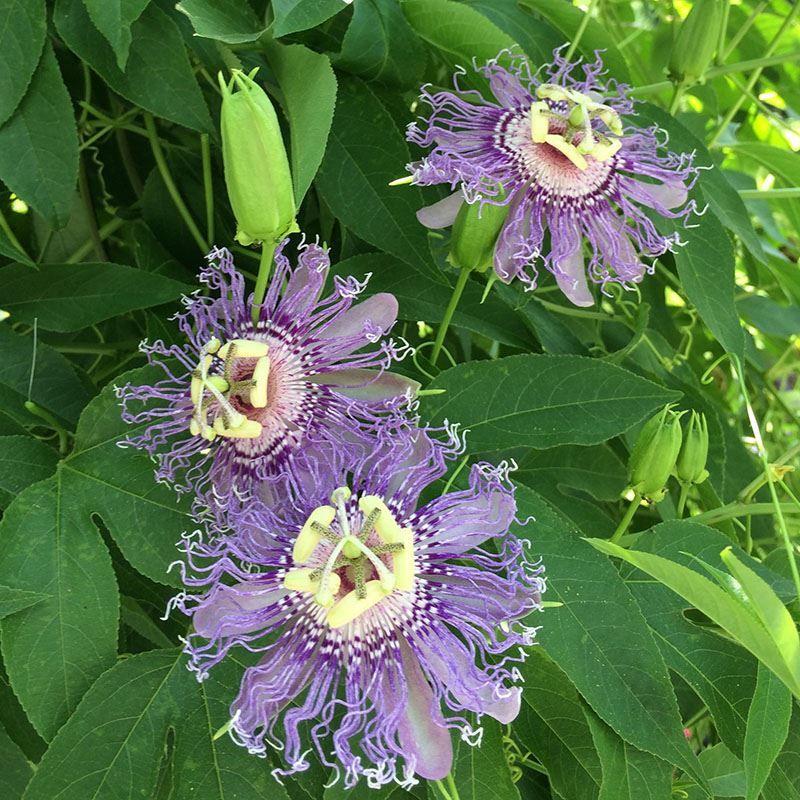 Фото и картинки домашнего растения – пассифлоры онлайн