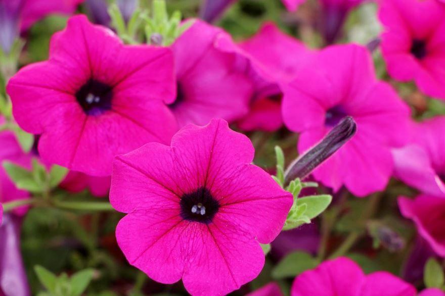 Фото и картинки домашнего растения – петуния
