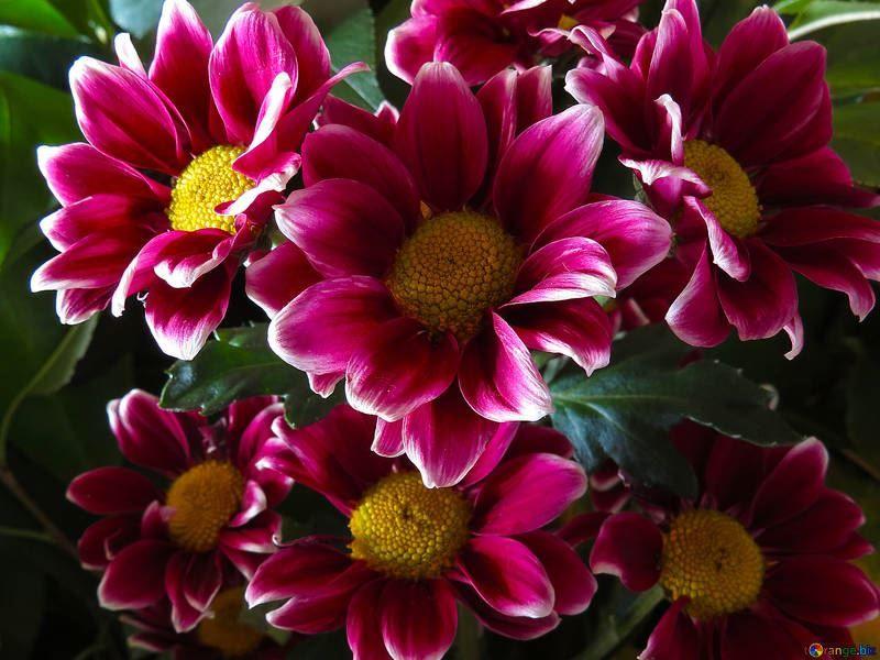 Скачать фото цветов пиретрума онлайн