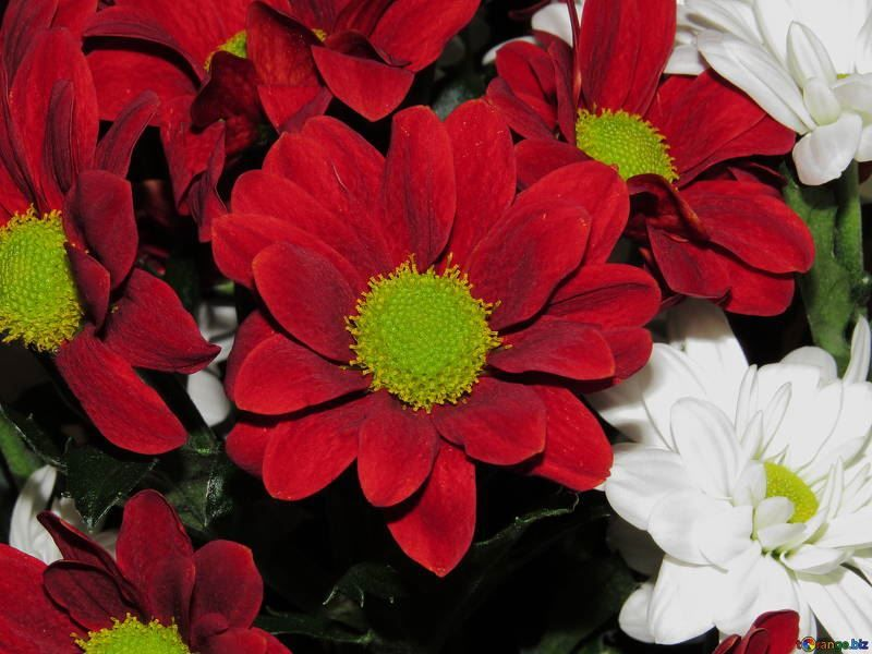 Фото цветов пиретрума из Москвы и Спб