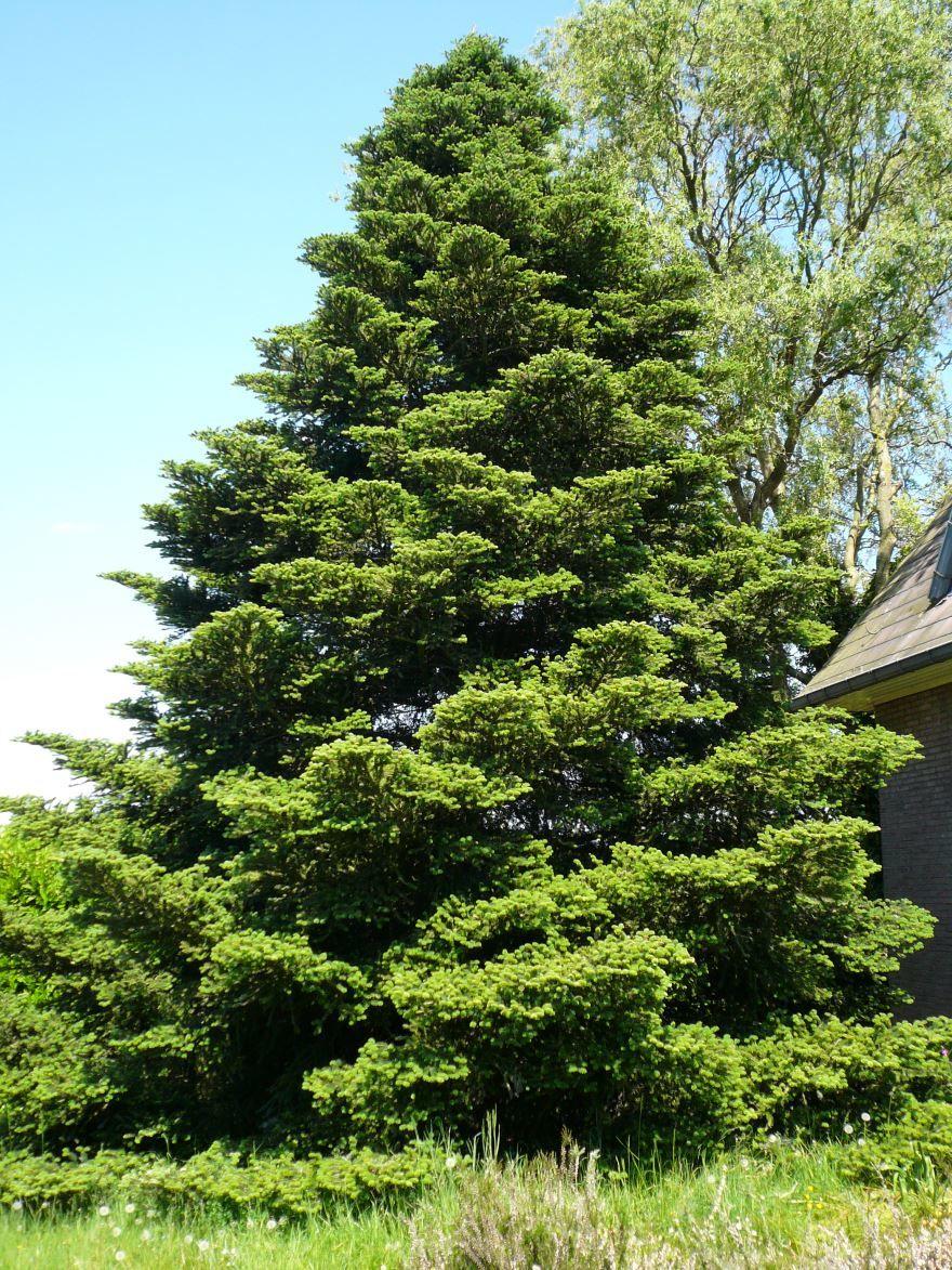 Бесплатные фото растения пихты бальзамической