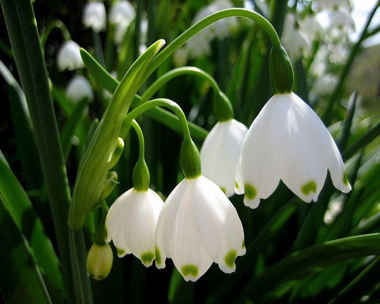 Смотреть фото весеннего растения – подснежник онлайн