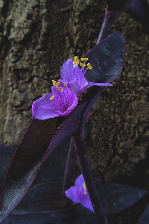 Фото домашнего растения традесканции бесплатно