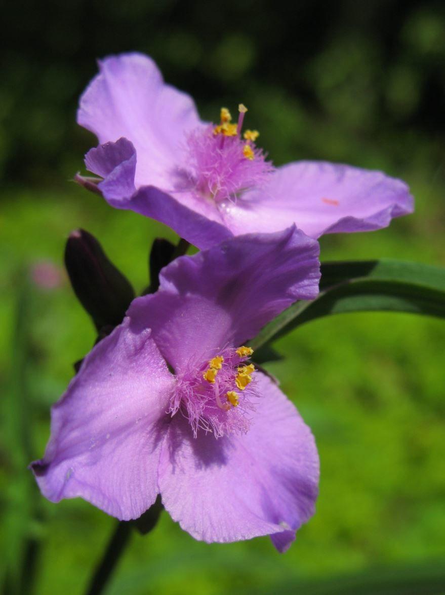 Смотреть фото комнатного цветка – традесканции