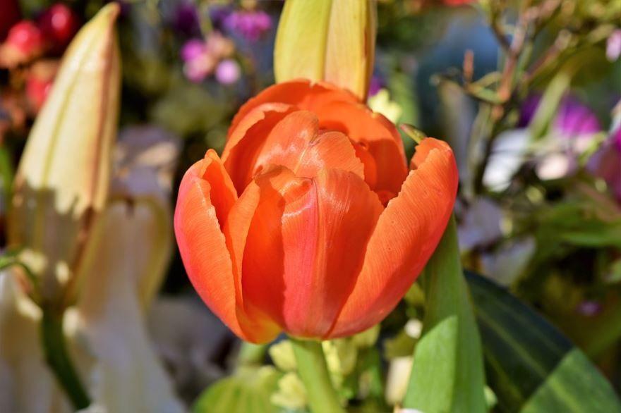 Купить фото цветов тюльпан, выращенных в открытом грунте? Скачайте бесплатно
