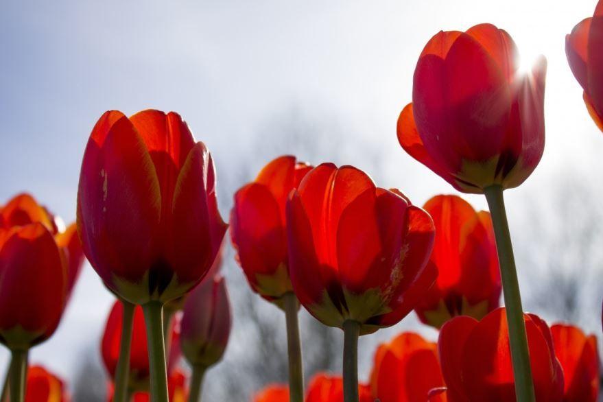Фото и картинки домашних цветов тюльпанов онлайн