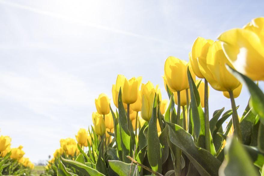 Фото открытых тюльпанов, выращенных в домашних условиях